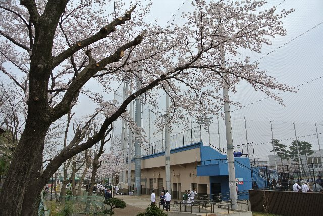 桜の木越しにチアリーダーでも撮影できれば最高なんだが...。