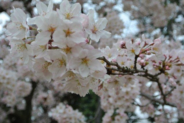 隣の陸上競技場は、トラックを囲うように見事な桜並木となっています。