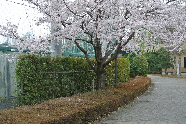 ところどころに桜の木が植えられている