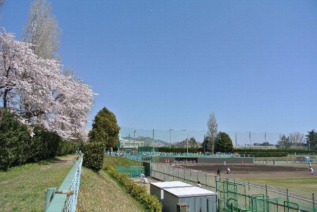 一塁側の桜が満開、見事だ。