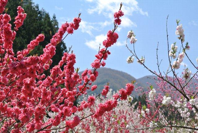 花桃の季節は阿智村が最も賑わう季節、G.W.の連休と重なり、一本道の村内は県外からやって来た多くの車で渋滞する。