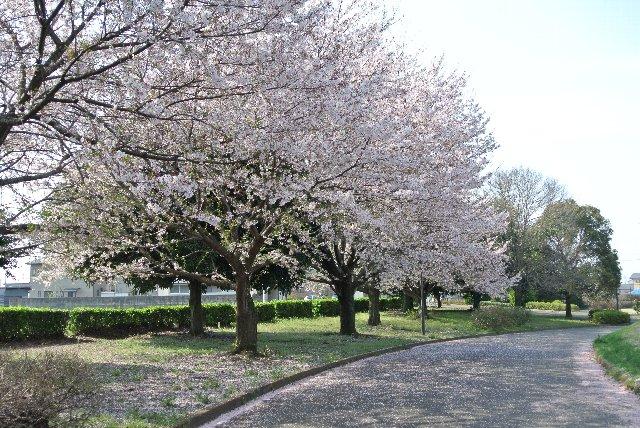 散り際の桜、いとおかし