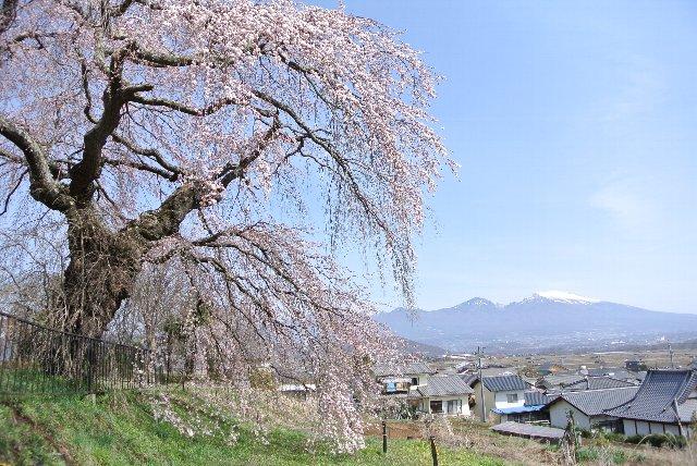 五郎兵衛記念館の敷地内に桜はあります。