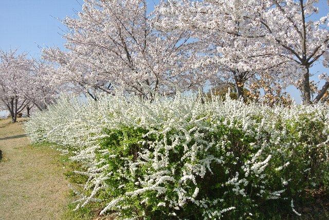 桜だけぢゃないよって感じの植え方がまた素敵。