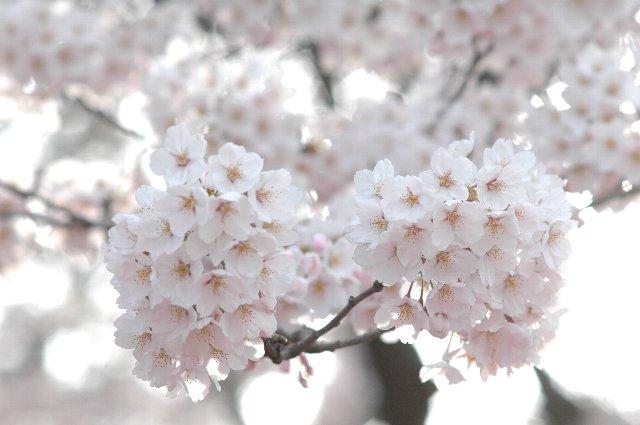 外野席の裏手に回ると見事な桜並木です。試合が開催されたこの日は丁度見頃、郡山で再び花見を楽しめました。