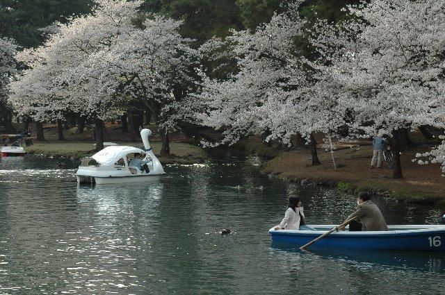 敷島公園内は桜が満開、ボートから見るとまた格別なんでしょうね。