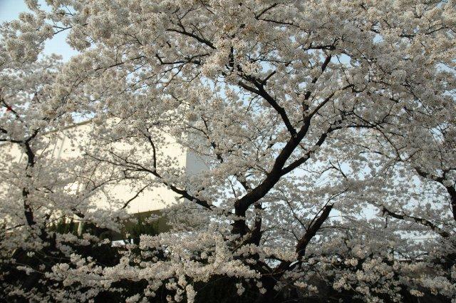 入場待ちの間に、スコアボード裏の桜の木を撮影