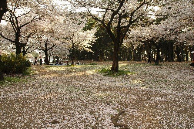 桜の木ではなく、地面や水面を一心不乱に撮影するカメラマンも多かったです。