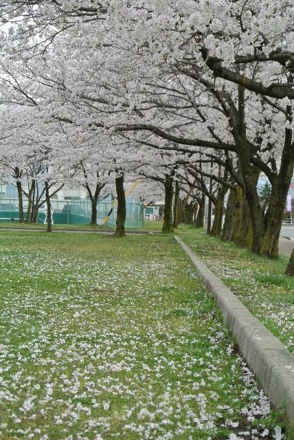 駐車場が満車で松本市体育館まで誘導されたのは面倒だったが、途中でこの桜並木に出逢えたのが収穫。