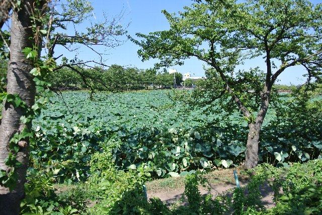 堀にはびっしりとハスが植わっていて、夏には東洋一と謳われる蓮池を楽しませてくれる。