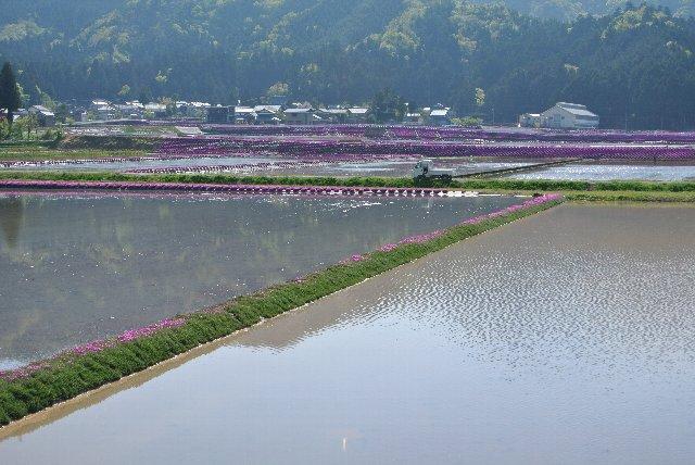 中丁集落に限らず、大野市・勝山市界隈では芝桜を植えた田圃をよく見かけた。
