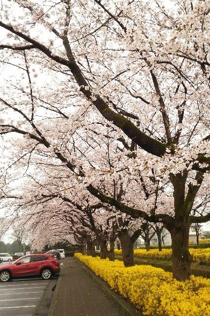 桜だけでなく、黄色のアクセントがあるのが良いんですよね。