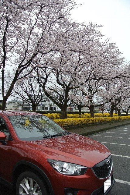 桜にしても、紅葉にしても、駐車場と墓地にある木は良く育つわ(笑)。