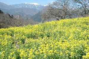 雪を被った山々を背景にすると花が映えますね。