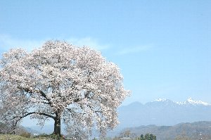 桜の傍には人が入れないので、比較的容易に桜だけの画像が撮影できます。