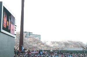 レフト側から観ていると、満開の桜が雲のように見えて綺麗でしたね。