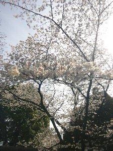 小さな神社で人知れず咲いている感じなので、誰に邪魔されることなく、のんびり桜を観賞できます。