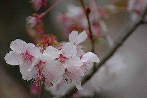 時折、花びらの色が桃色がかった桜の木があると、ついつい足が止まってしまう。