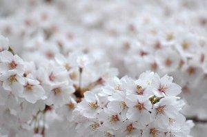 これだけの桜、青空の下で見れたら最高だろうなぁ。人は多いだろうけど(汗)。