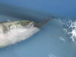 腹かっさばいた時に小魚が出てくることはあるが、口にくわえた状態で売られるというのは実に珍しい。