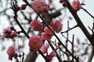 遠くから見ると鮮やかな桃色、でも近くで撮影すると思ったほど綺麗には撮れない。難しや、梅の花。
