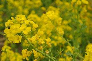 古墳を見下ろす高台が菜の花畑になっていて、古墳をバックに花の写真を撮る人が多かった。