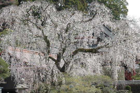 しだれ桜目当てに訪れる観光客をあざ笑うかのように、境内では土木工事が真っ盛り。桜の時期くらい、工事を止めれば良いのに...。