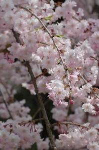 山頂付近のしだれ桜が素晴らしいと聞いていただけに、少々肩すかしを食らった感じ。