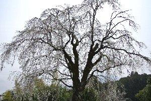 本郷の千本桜と比較して見劣りする分、訪れる人は少なく、桜の古木を独り占めすることができる。