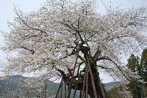 枝振り、回りの環境ともに、本郷の千本桜の方が見る価値あり。原間と比べて、訪れる人も多かった。