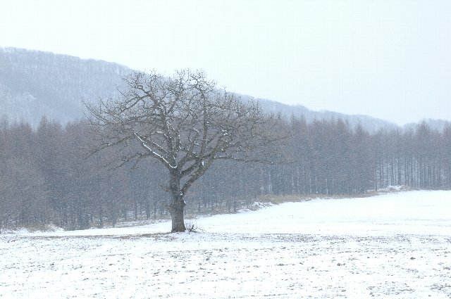 軽く吹雪いていても、この木を見ていると長いこと見ていたくなる。