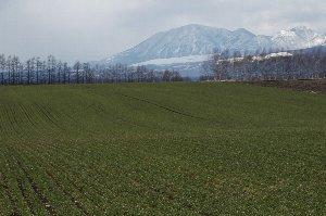 後ろにはナイタイの山々、畑には春小麦の緑。この風景を見るだけでストレスが吹き飛びます。