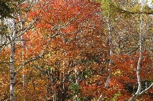 標高のある場所での紅葉は、色づいた木々の中で白樺の幹の色が更に映えるのが好き。