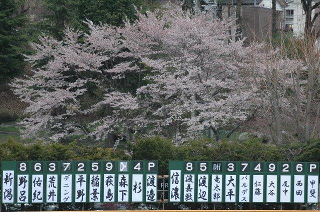 この時期に、長野県内で散り際の桜に出会えるのは意外だった。