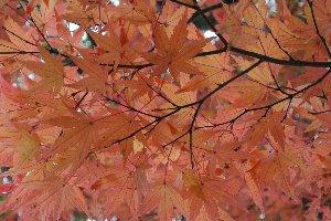 色づいた葉を裏から見るの、結構好きです。