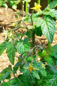 奥に植わっている背丈が高くなるミニトマトもすくすくと丈を伸ばしています。