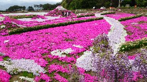 先週、福井県大野市で見た芝桜と比較すると、見せ方、スケールの面で改善の余地がまだまだ沢山ある。