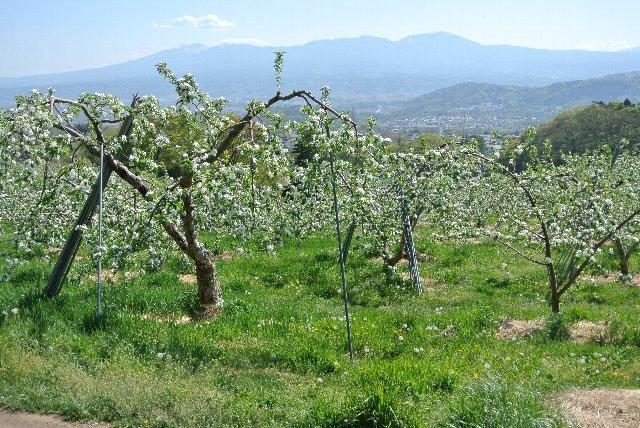 リンゴの花が咲き、その下にはたんぽぽが咲き乱れる、うちが大好きな風景。