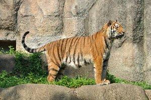 人工飼育で生まれた時から育てたこともあり、浜松市動物園の人気者です。