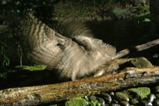 養老牛温泉「だいいち」はフクロウがやってくる宿として有名です。