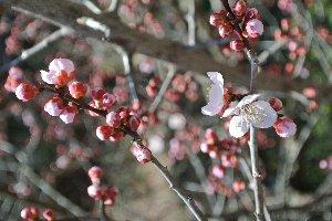 福岡や岐阜では桜の開花宣言があった時期ですが、木曽では梅の花がまだまだ元気。