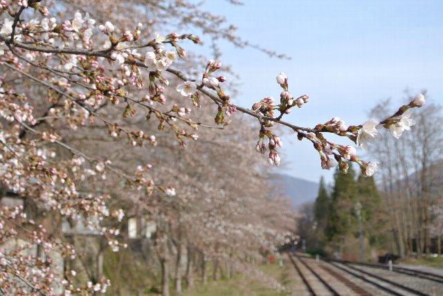 この桜の中で、ガッタンGo!が出来たら最高なんだが、今回は時間なし。