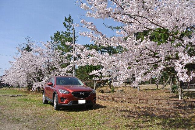桜だけだとなかなか絵にならないので、車を強引に木の下に置いてみる。