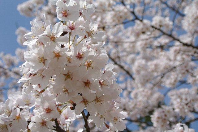 富山でも既に桜が満開です。