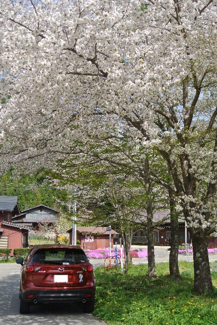 国道と国道の分岐点に静かに立つ桜の木です。