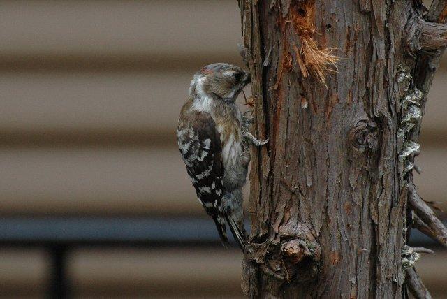 木をつついている間は、網戸を開けても意外と逃げない。