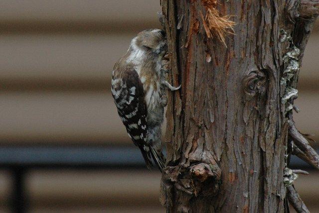 こんな老木でも巣くってる虫がいるってことですな。