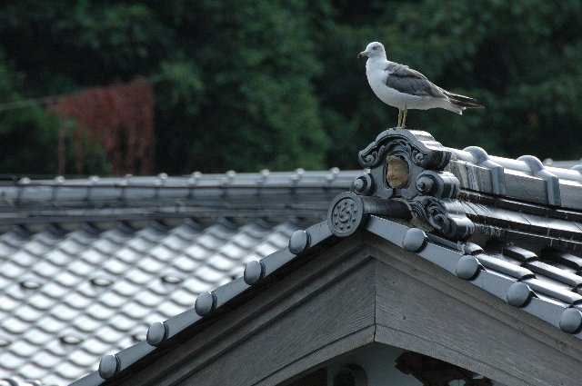 各舟屋の屋根に数羽、じっとタイミングを待っています。