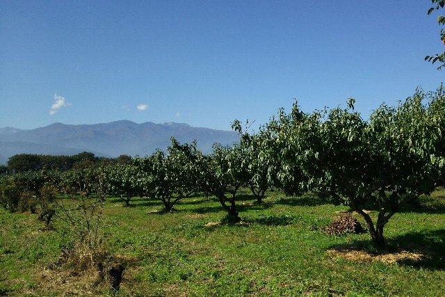 実がなる木々はすべて収穫を終えた状態です。