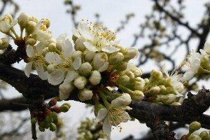 桃の花が咲き乱れるのは半月後くらいですかねぇ。